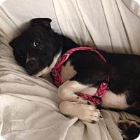 Adopt A Pet :: Mischa and Gig - Bardonia, NY