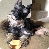 Adopt A Pet :: Rowdy - Springfield, MO