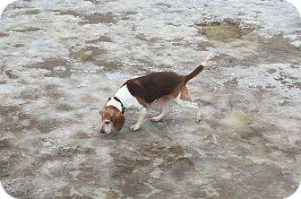 Beagle Mix Dog for adoption in Waldorf, Maryland - Luna