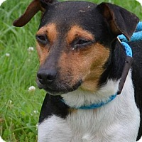 Jack Russell Terrier Mix Dog for adoption in Trenton, Missouri - Jack