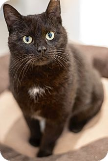 Domestic Shorthair Cat for adoption in Philadelphia, Pennsylvania - Cupcake