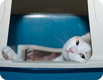 American Shorthair Cat for adoption in New York, New York - Jesse