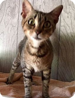 Domestic Shorthair Cat for adoption in Porter, Texas - Munchkin