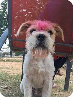 Border Terrier/Wheaten Terrier Mix Dog for adoption in Atlanta, Georgia - Rhett