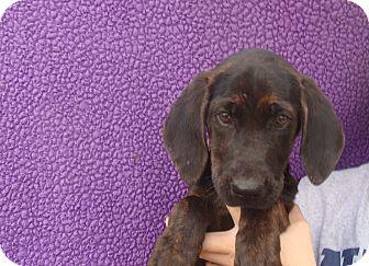 Black and Tan Coonhound Mix Puppy for adoption in Oviedo, Florida - Xanadu
