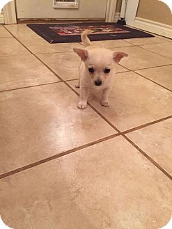 Pomeranian/Chihuahua Mix Puppy for adoption in New Milford, Connecticut - Darla