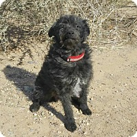 Adopt A Pet :: Dapper LITTLE Demetri Schnoodle - Albuquerque, NM