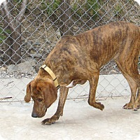 Adopt A Pet :: Bella - Ruidoso, NM