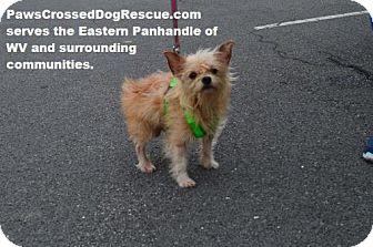 Maltese/Yorkie, Yorkshire Terrier Mix Dog for adoption in Hedgesville, West Virginia - Buster Boy