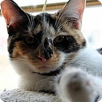 Calico Kitten for adoption in Danville, Kentucky - CiCi
