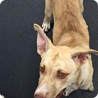 Adopt A Pet :: Blazer - Jupiter, FL