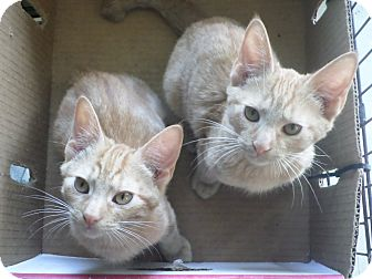 Domestic Shorthair Kitten for adoption in Cleveland, Mississippi - BOB AND DYLAN