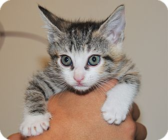 Domestic Mediumhair Kitten for adoption in Agoura Hills, California - Cali