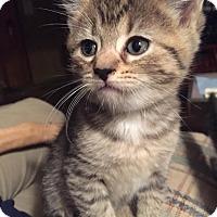 Adopt A Pet :: Thinkerbell - Clay, NY