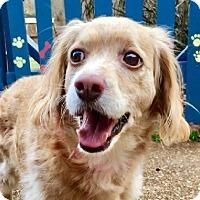Cocker Spaniel Dog for adoption in West Seneca, New York - Sweetie