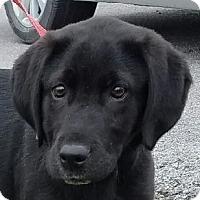Adopt A Pet :: Hugo Boss - Lexington, KY