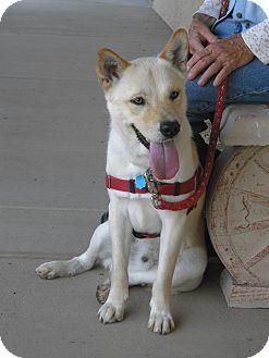 Shiba Inu Mix Dog for adoption in Wickenburg, Arizona - Cody