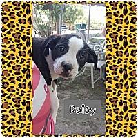 Adopt A Pet :: Daisy - Fowler, CA