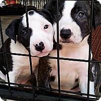 Adopt A Pet :: URSULA - Plano, TX
