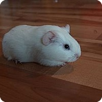 Adopt A Pet :: Gracie - Brooklyn Park, MN