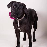 Adopt A Pet :: Tara - Irving, TX