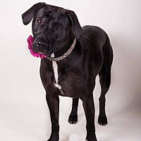 Labrador Retriever/Staffordshire Bull Terrier Mix Dog for adoption in Irving, Texas - Tara