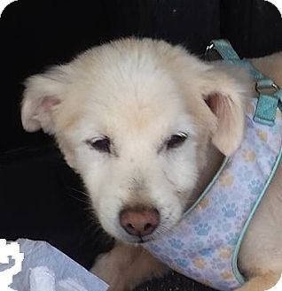 American Eskimo Dog Dog for adoption in Aqua Dulce, California - Agua Dulce