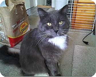 Domestic Shorthair Cat for adoption in El Dorado Hills, California - Sebastian