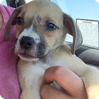 Boxer Mix Puppy for adoption in Long Beach, California - Male Boxer Mix Pup