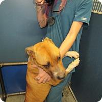 Adopt A Pet :: Lady (HW Pos) - Henderson, NC