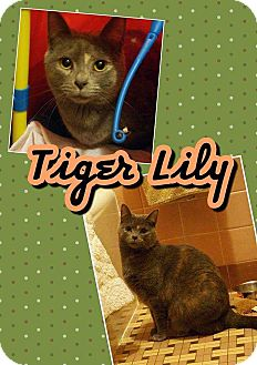 Domestic Shorthair Kitten for adoption in Belton, South Carolina - Tiger Lily