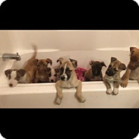 Adopt A Pet :: Doris Pups - Pompton Lakes, NJ