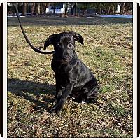 Adopt A Pet :: Saffron - Milford, NJ