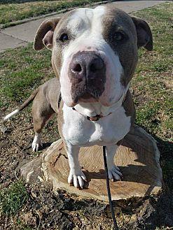 Shar Pei/American Pit Bull Terrier Mix Dog for adoption in Wichita, Kansas - Venus