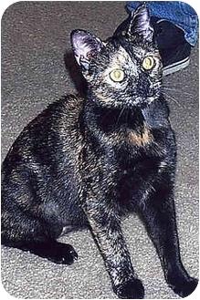 Domestic Shorthair Cat for adoption in Owatonna, Minnesota - Nikita