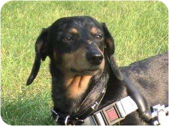 Dachshund Mix Dog for adoption in Toronto, Ontario - Grace