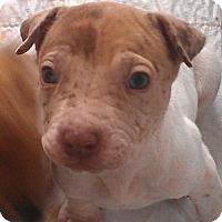 Adopt A Pet :: Little Red Riding Hood - Phoenix, AZ