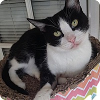 Domestic Shorthair Cat for adoption in Lakewood, California - FELIX