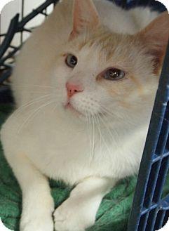 Domestic Shorthair Cat for adoption in Buhl, Idaho - Tonya
