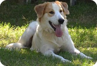 Brittany/Great Pyrenees Mix Dog for adoption in St. Louis, Missouri - TX/Samantha (Adoption Pending)
