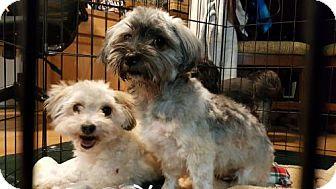 Havanese Dog for adoption in Custer, Washington - Missy