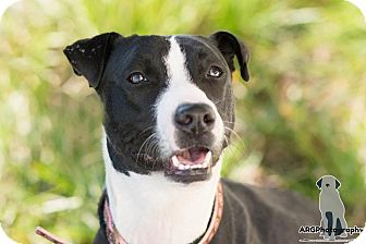 Border Collie/Whippet Mix Dog for adoption in Seattle, Washington - Gwennie, Love in a fur coat