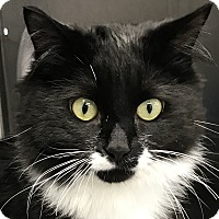 Domestic Mediumhair Cat for adoption in Clayville, Rhode Island - Angel: FIV+
