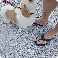 Adopt A Pet :: Chao - Palm Bay, FL