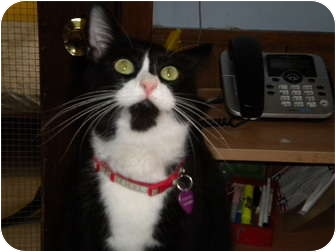 Domestic Shorthair Cat for adoption in Cleveland, Ohio - Friendly