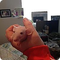 Adopt A Pet :: Pinky - Lees Summit, MO