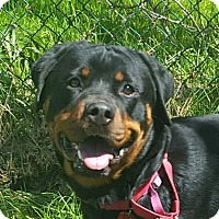 Adopt A Pet :: Prada - Frederick, PA