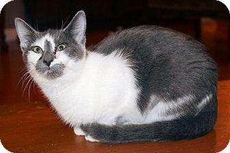 Domestic Shorthair Kitten for adoption in Morganton, North Carolina - Scout