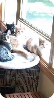American Shorthair Kitten for adoption in Pennsville, New Jersey - Piglet, Tigger, Eyore, Winnie
