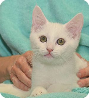Domestic Shorthair Kitten for adoption in Reston, Virginia - Martin
